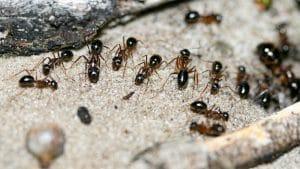 Types of Ants UK