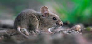 Types of British mice
