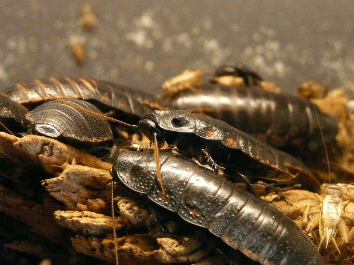 What to do about cockroach eggs in your home