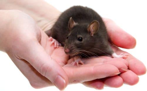 rat bite
