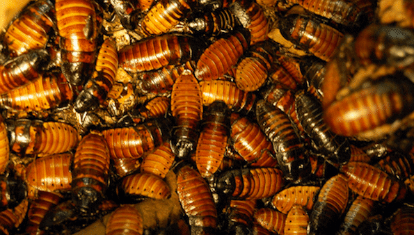 cockroaches infestation