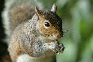 types of squirrels