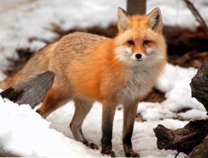 what do foxes eat