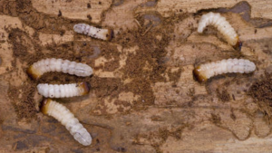 Woodworm Life Cycle