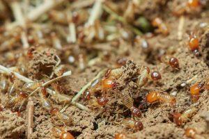 Termites vs ants